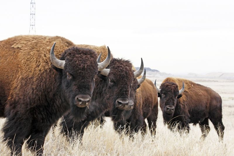Bison, by jim carr u.s. fish and wildlife service