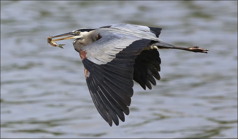 Great blue heron andy morrison