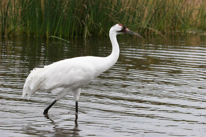 WHOOPING_CRANE_AT_INTERNATIONAL_CRANE_FOUNDATION_S_HEADQUARTERS_IN_BARABOO__WIS.